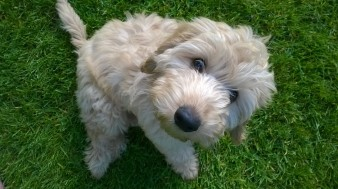 Puppy Capu