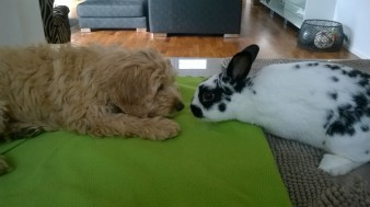 Capu as a puppy meeting our Rafael bunny