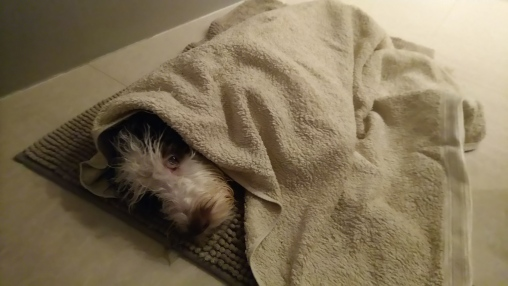 Maggie after the bath